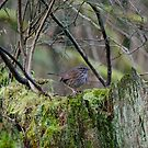 Song Sparrow by Jean Poulton