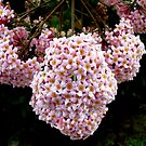 Clusters of Pink by Magee