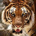 Tiger's face by Maureen Clark