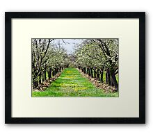 Orchard of plum trees Framed Print