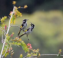 new holland honey eater by cloverestate