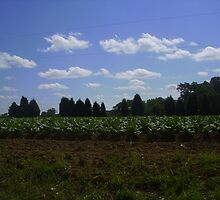 We still grow tobacco in North Carolina by Thomas Josiah Chappelle
