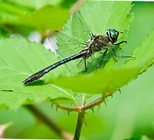 Black Meadowhawk at the Pond by David Friederich