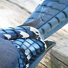 Blue Jay Feathers... Abstract by Danielle Davenport