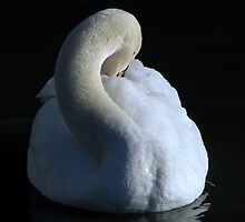 The Swan (In colour) by Sharon Perrett