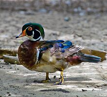 Drake Wood Duck by Bonnie T.  Barry