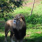 Lion smelling hidden meat by Andy Bulka