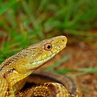 yellow rat snake by Michael L Dye