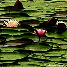 #425   Lotus Flowers & Pads by MyInnereyeMike