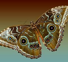 Blue Morpho Butterfly by Bonnie T.  Barry