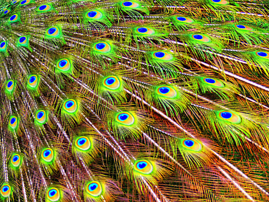 Carlotta's Peacock Feathers... by LjMaxx
