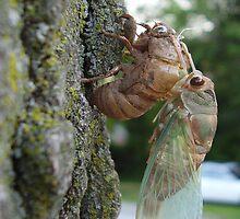 Fresh Cicada by Felicia Drury
