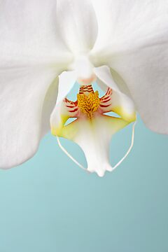 White Phalaenopsis Moth Orchid by Mark Stahl