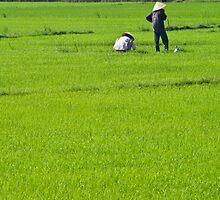 Rice Fields #1 (Hoi An, Viet Nam) by Matthew Stewart