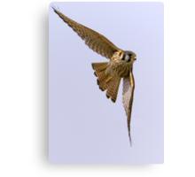 American kestrel in flight Canvas Print