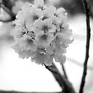 Cherry Blossom by WStudios