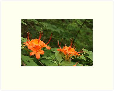 Flame Azalea II by Gary L   Suddath