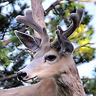 Mule Deer at Lake Yellowstone by Mark Bolen