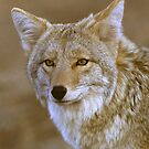 Quintesstenial Coyote by GaryGlass