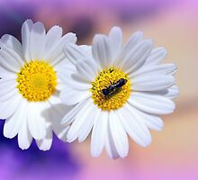 Fly on Daisy by franceslewis