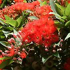 flowering gum by annierose
