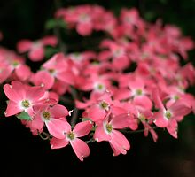 Pink Dogwood by Michael  Dreese
