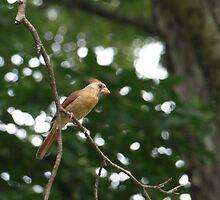 Cardinal by kimbarose