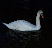 Single Swan by Glenn Esau