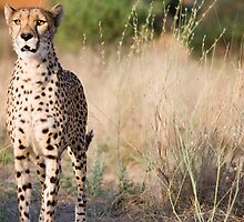 Cheetah on alert, Damaraland, Namibia by Wild at Heart Namibia