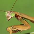 Praying Mantis by Sheryl Hopkins