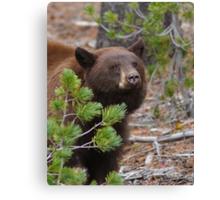 Black Bear with Cinnamon Color Canvas Print