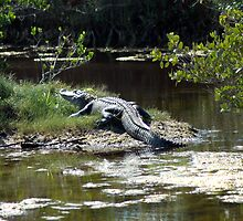 Aligator at Cape Canaveral by BarbsUSA