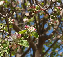 Apple Blossoms by Korina Matthews