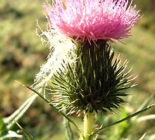 thistle and web by picketty