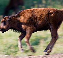 Bucking Baby Bison by Jay Ryser