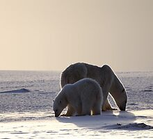 Golden Glow. Polar Bears at Sundown, Churchill, Canada (Please read description) by Carole-Anne