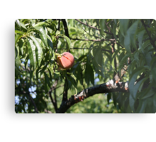 peach, one of the harvest   Metal Print