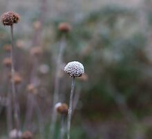 frost on the flower heads by Justine Gordon