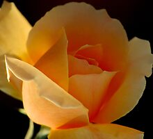 THE APRICOT ROSE by Magaret Meintjes