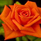 THE ORANGE ROSE by Magaret Meintjes