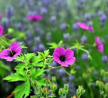Geraniums and Lavender by photobymdavey