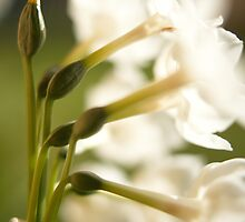 underneath the jonquils by Brenda Anderson