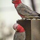 Pink And Grey Galah by Paul Amyes