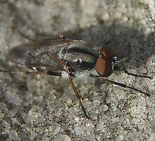 Fly closeup 2 by Moxy