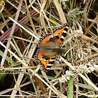 aglais urtica-small tortoise shell by brucemlong