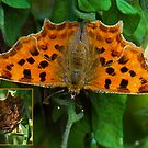 Comma Butterfly by John Hooton