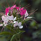 Star Burst - Cleome by Sarah McKoy