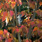 Downy Woodpecker in Autumn by Paul Gitto