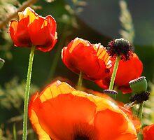 Poppies - Sunburst by Ryan Houston