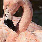 Flamingo by Robert Deaton